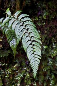 Kiwi silver fern (front side)
